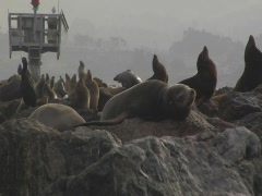 Sea lions hauled out on a pier Stock Footage