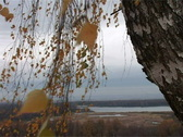 Stock Video Footage of yellow leaves of a birch
