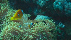 Anemonefish Stock Footage