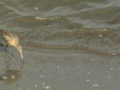 Marbled godwit  Stock Footage