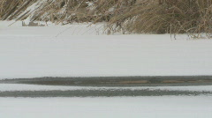 P00811 Muskrat Emerging from Hole in Ice Stock Footage