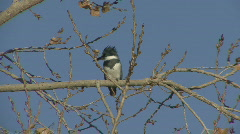 P00816 North American Belted Kingfisher Stock Footage