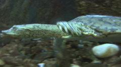 P00819 Softshell Turtle Swimming Stock Footage