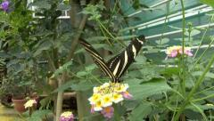 Close up black butterfly Stock Footage