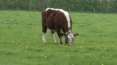 beautiful Dutch cow grazing - stock footage