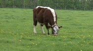 Beautiful Dutch cow grazing Stock Footage