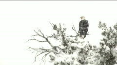 Eagle In Snowstorm Stock Footage