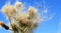 Wild dandelion Footage