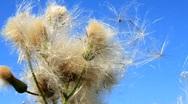 Wild dandelion Stock Footage