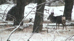 White-tailed Deer In Snowstorm Stock Footage