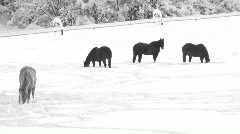 Horses In Winter Pasture Stock Footage