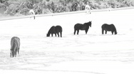 Stock Video Footage of Horses In Winter Pasture