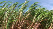 Stock Video Footage of Sugar cane maui