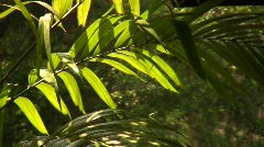Palm frond leaves in tropical forest. Stock Footage