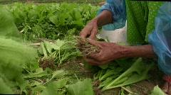 Vietnamese farmers sort produce in field Stock Footage