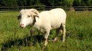 White sheep Stock Footage