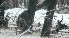 Deer Forage Through Snow Stock Footage
