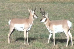 Two Pronghorn Antelope standing in a field Stock Footage
