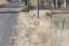 Pronghorn antelope cross in front of a vehicle Stock Footage