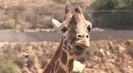 Stock Video Footage of A giraffe chews it's cud