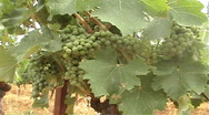 Grapes stock Stock Footage