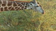 Giraffe feeding Stock Footage