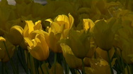 Stock Video Footage of yellow tulips