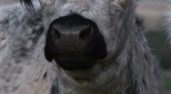 Stock Video Footage of A close-up of a cow chewing its cud mp4