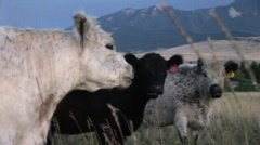 Pan to a herd of cows on a Montana Ranch mp4 Stock Footage