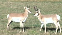 Two Pronghorn Antelope standing in a field mp4 - stock footage