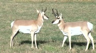 Stock Video Footage of Two Pronghorn Antelope standing in a field mp4