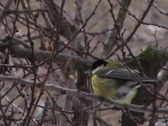 Blue tit in winter Stock Footage