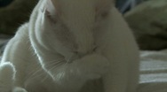 White cat cleans himself Stock Footage