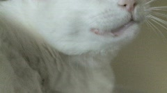 White cat in slow motion Stock Footage