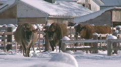 Cows in the snow Stock Footage