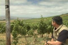 Winemaker checks soil jib 1 NTSC Stock Footage