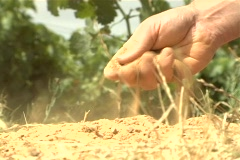 Winemaker checks soil jib 2 NTSC Stock Footage
