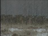 Deer,  Stock Footage