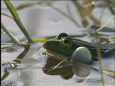 Frog, amphibious, Stock Footage