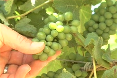 Winemaker inspects young grapes tilt NTSC Stock Footage