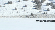 Stock Video Footage of Cows Trek Through Snow