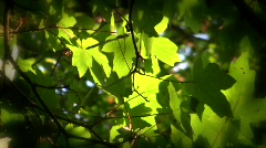 Spring Maple Leaves in Sunlight New Growth Springtime Sunlight Shady Forest Stock Footage