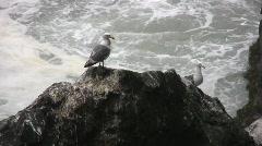 Seagulls on Ocean Rocks Stock Footage