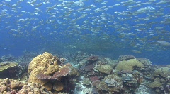 Sharks hunting silver fish over tropical reef - stock footage