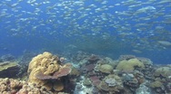 Sharks hunting silver fish over tropical reef Stock Footage