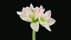"Time-lapse opening ""Apple Blossom"" amaryllis Christmas flower alpha matte 1 Stock Footage"