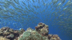 Baitball of silver fish flee from open water - stock footage