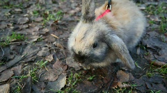 Scared rabbit on a red leash smelling air sitting on ground Stock Footage