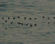 Sea birds, birds, animal, fauna Stock Footage