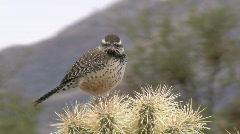 Cactus Wren Vocalizing Stock Footage